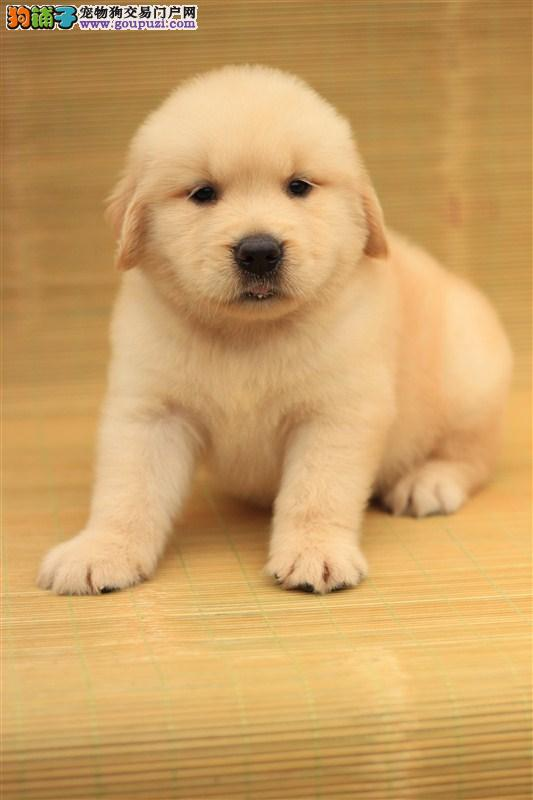 长沙赛级金毛寻回犬 调皮可爱 包纯种健康 可送上门