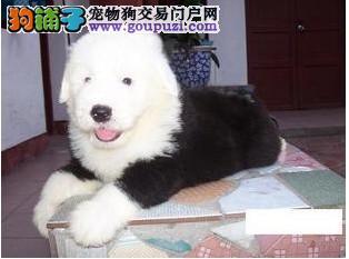 专业基地繁殖超可爱保健康古牧幼犬出售!