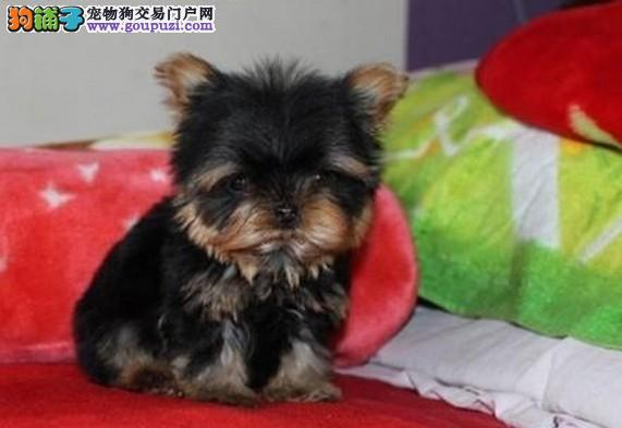 约克夏郑州CKU认证犬舍自繁自销全国质保全国送货