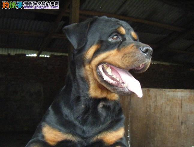 上海出售罗威纳犬 保纯保健康疫苗驱虫均已做完签协议