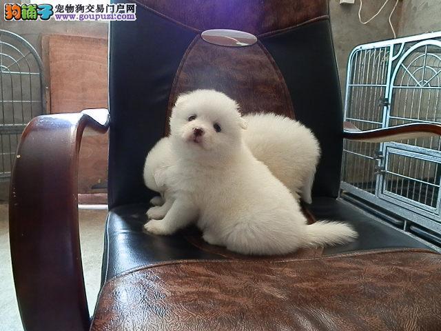 泉州出售可爱乖巧活泼美丽毛的小精灵白银狐幼犬宝宝