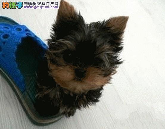 英国引进约克夏种犬 郑州出售华丽小约保证肩高体重