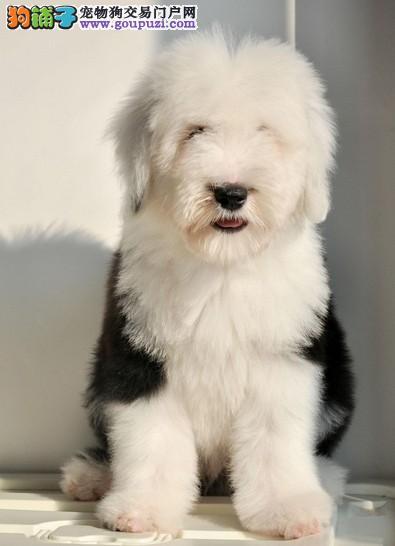 深圳古代牧羊犬 白头通背双蓝眼特价出售 签协议保健康