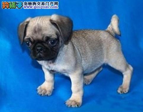 广州哪里有卖巴哥犬 广州纯种巴哥犬哪里有卖巴哥犬