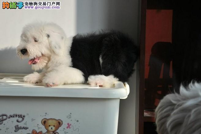 白头齐肩/古代牧羊犬/2-5个月幼犬都有/可亲自挑选/