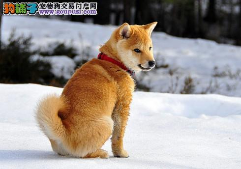 怎样在购买秋田犬的时候远离骗子的圈套