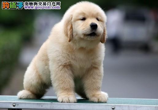 美式金毛犬和英式金毛犬有哪些方面的区别5