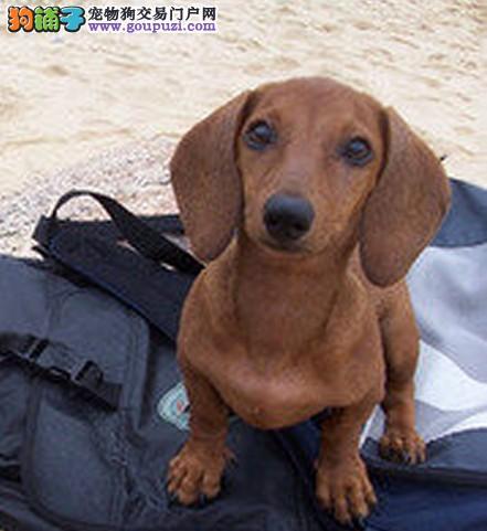 腊肠犬患上焦虫病的症状及治疗方案