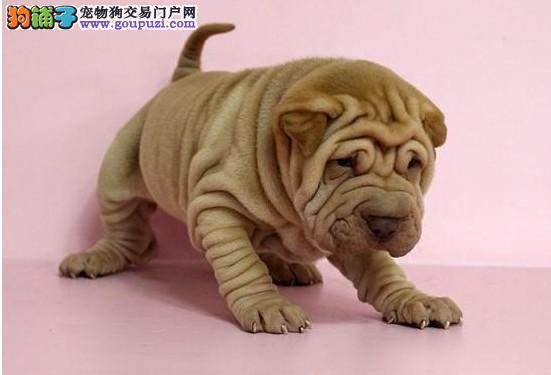 宿迁售新生大气沙皮狗幼犬短毛皱皱身体活泼可爱沙皮狗