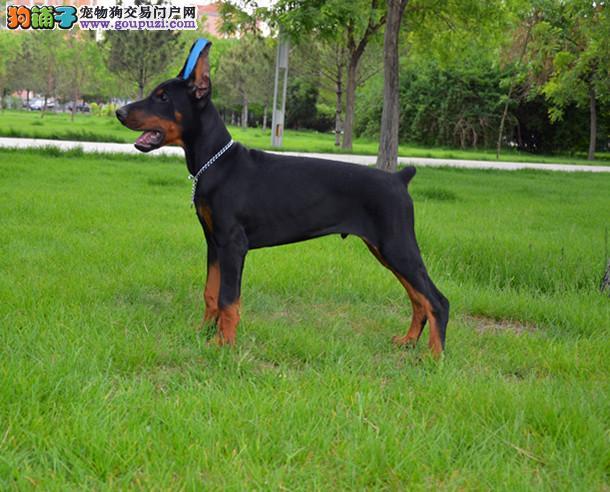 长沙纯种杜宾犬多少钱一只 是纯种健康的吗3