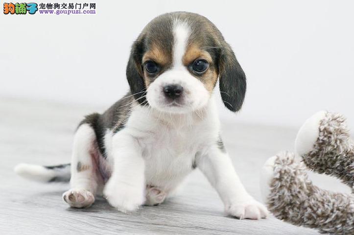 正规犬舍高品质比格犬带证书假一赔万签活体协议