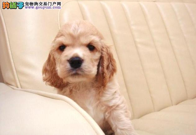 赛级品相郑州可卡幼犬低价出售可以送货上门