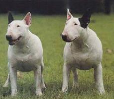 怀柔县上门犬业出售牛头梗/当天全款包邮·送货上门