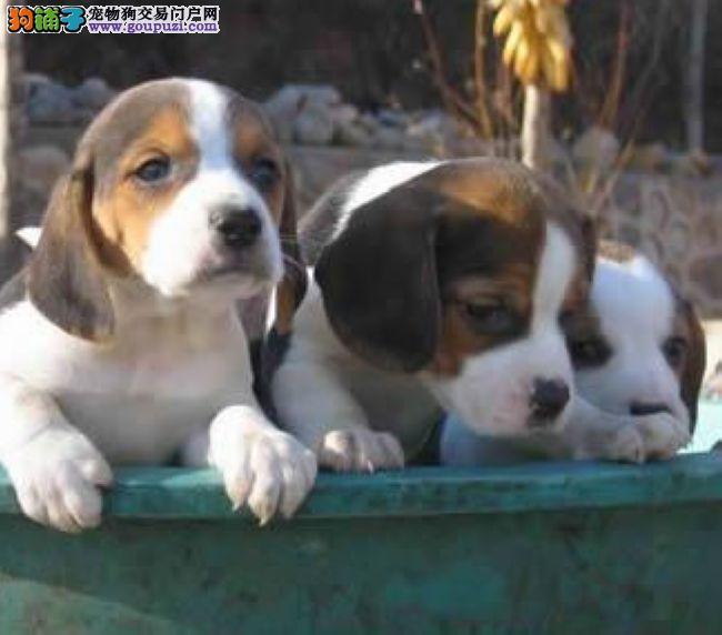 西宁市出售比格幼犬 公母均有 疫苗已做好 包养活