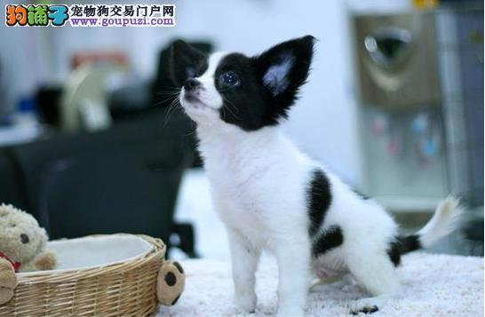 热销多只优秀的纯种蝴蝶犬幼犬签正规合同请放心购买