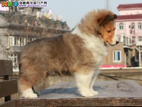广州犬舍 广州喜乐蒂犬 广州纯种喜乐蒂犬 广州宠物狗