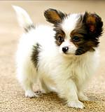 蝴蝶犬 蝴蝶犬多少钱 蝴蝶犬哪里买 蝴蝶犬舍2