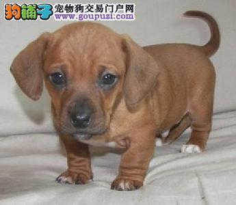 安岭出售腊肠犬颜色齐全公母都有办理血统证书4