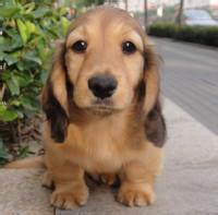安岭出售腊肠犬颜色齐全公母都有办理血统证书3