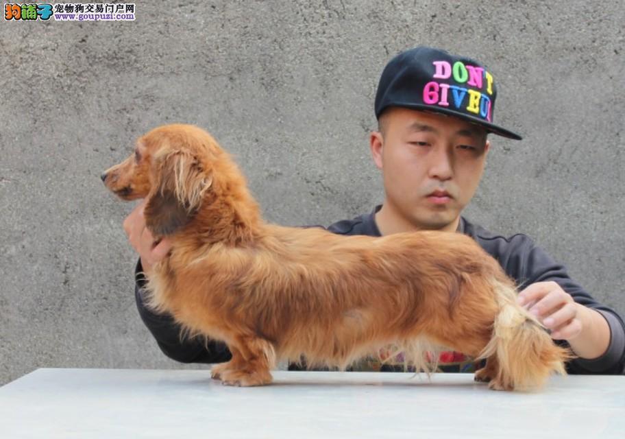 腊肠犬幼犬出售中,三针齐全保健康,可送货上门
