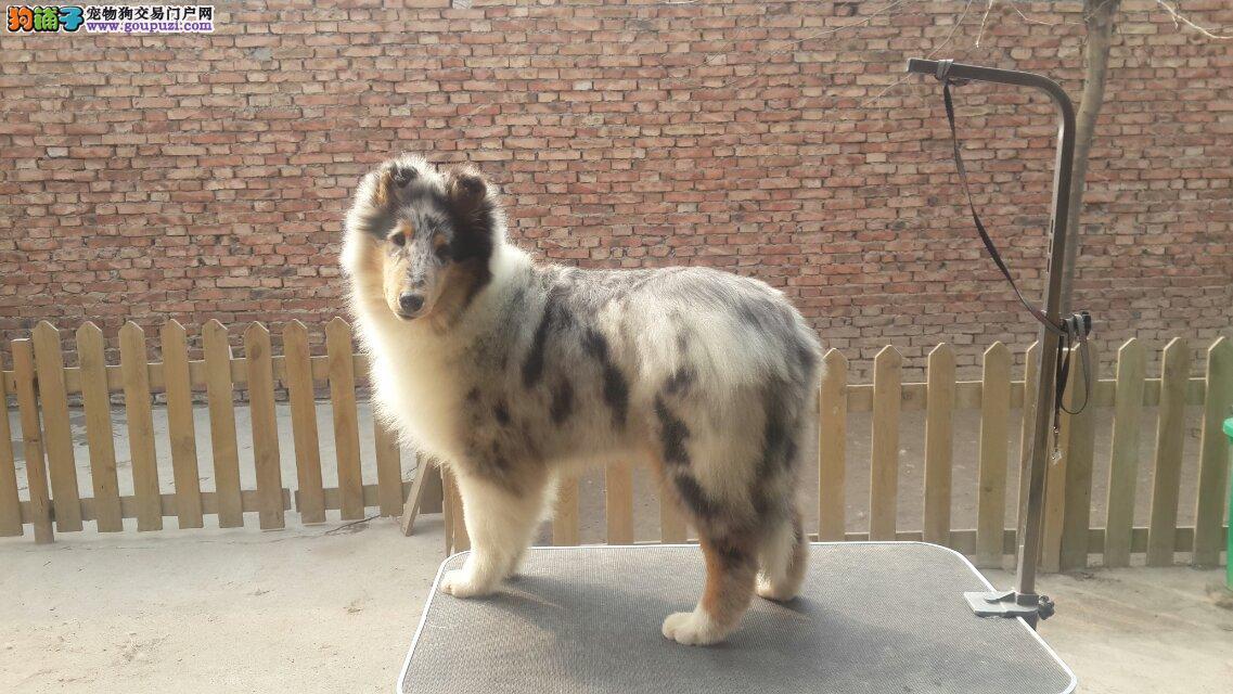 专业繁殖纯种赛级纯血统苏牧幼犬 公母均有 欢迎选购