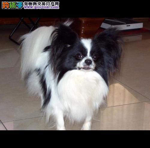 纯种蝴蝶犬宝宝南宁地区找主人微信咨询看狗狗视频