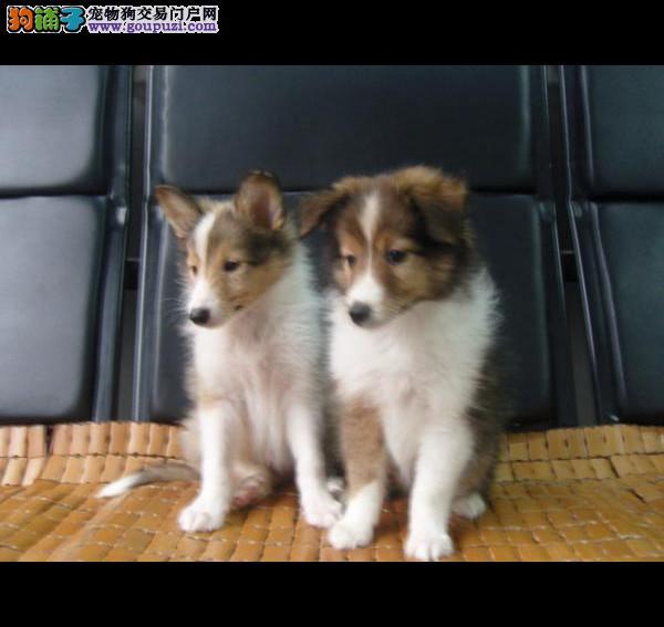 郑州纯种喜乐蒂幼犬很可爱 小狗非常聪明