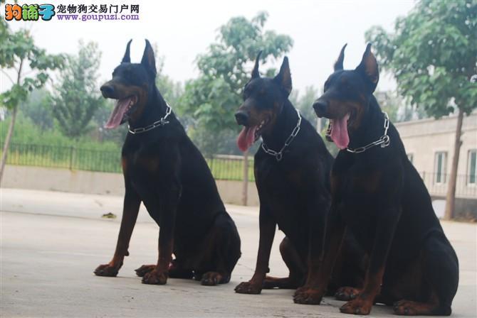 濮阳市出售杜宾犬幼犬公母都有包纯种健康终身售后服务