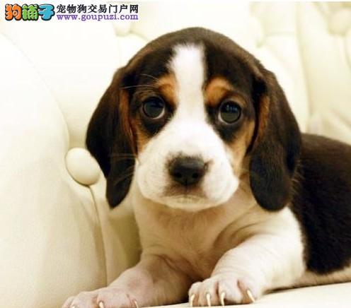 赤峰正规比格犬养殖场售赛级比格犬幼犬疫苗驱虫已做完