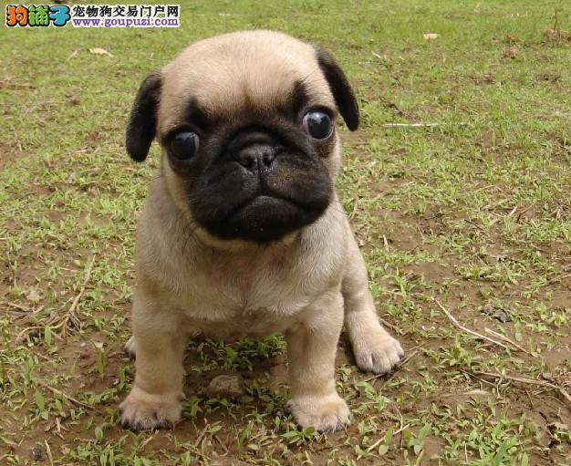 南京哪里专业繁殖中心出售顶级巴哥幼犬 健康质保