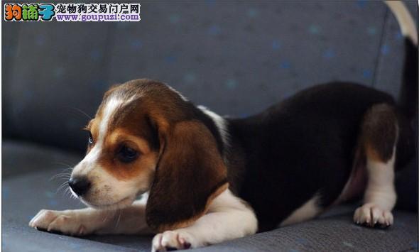 乌鲁木齐出售纯种米格鲁比格犬 健康保证 信誉保证诚信质保