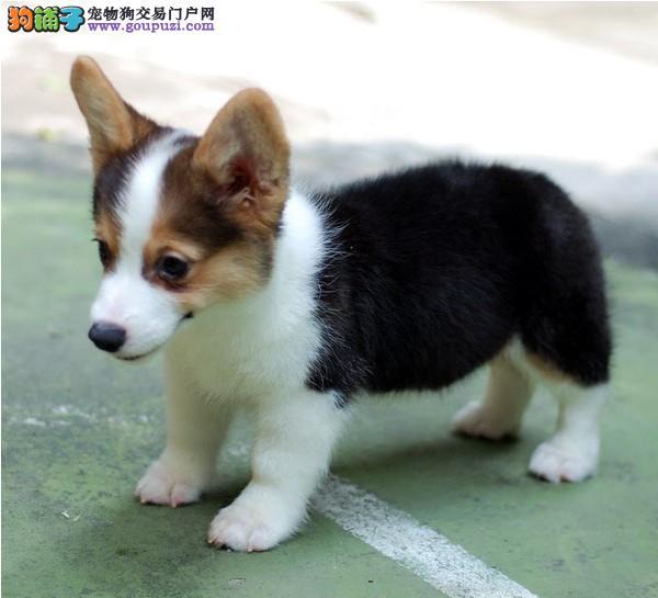 双血统柯基犬幼犬出售 全网发货 买狗送赠品 周边可送货到家