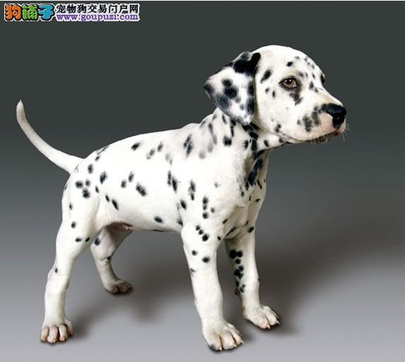 繁殖基地出售高品质大麦町幼犬 健康质保签署协议
