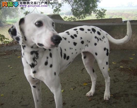 上海正规狗场包健康纯种售斑点狗犬 疫苗全齐 放心选购
