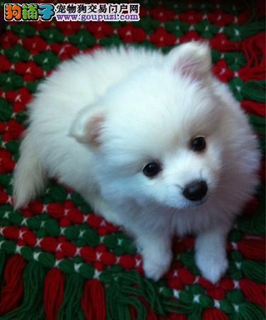 出售纯白色日本银狐犬幼犬疫苗驱虫已做纯种健康