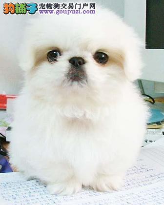 100%信誉保证赤峰售京巴狗幼犬保纯种健康双血统京巴
