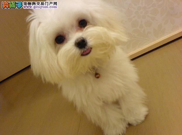 广州基地直销健康纯种马尔济斯幼犬可视频挑选
