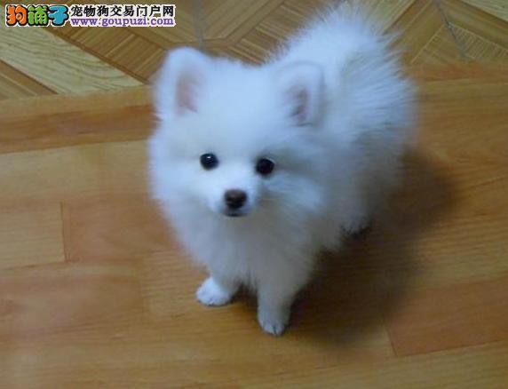深圳市出售银狐犬幼犬 全国包邮 协议质保 带血统证书