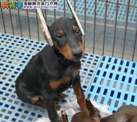 德系精品杜宾幼犬疫苗齐全可化验健康