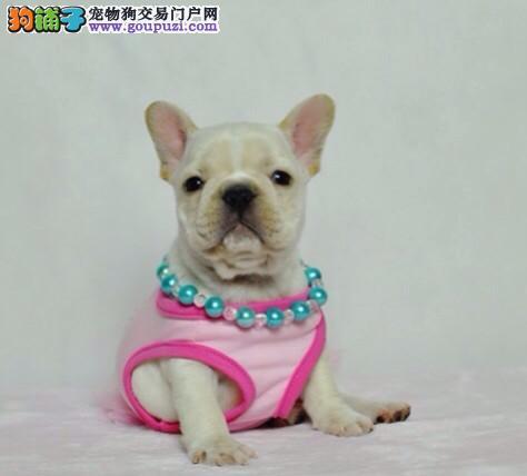 出售多种颜色南昌纯种法国斗牛犬幼犬包养活送用品2