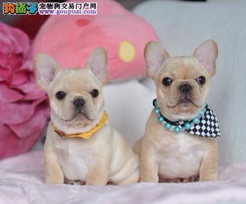 出售多种颜色南昌纯种法国斗牛犬幼犬包养活送用品3
