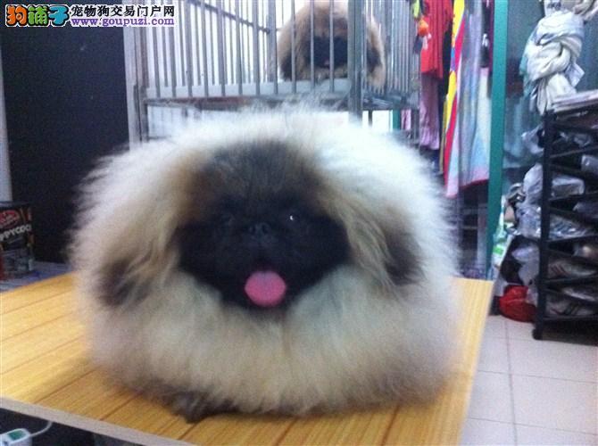 京巴幼犬出售一一一三针免疫齐全质保三年