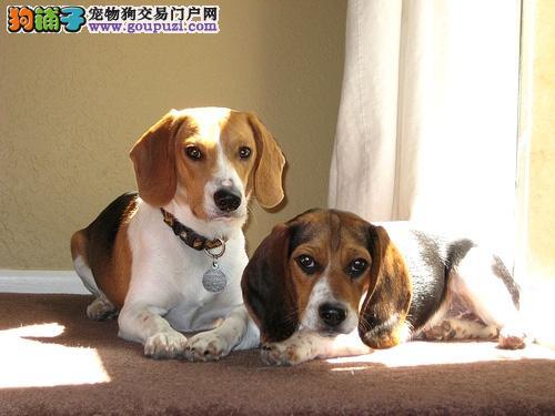 正规犬舍高品质比格犬带证书均有三证保障