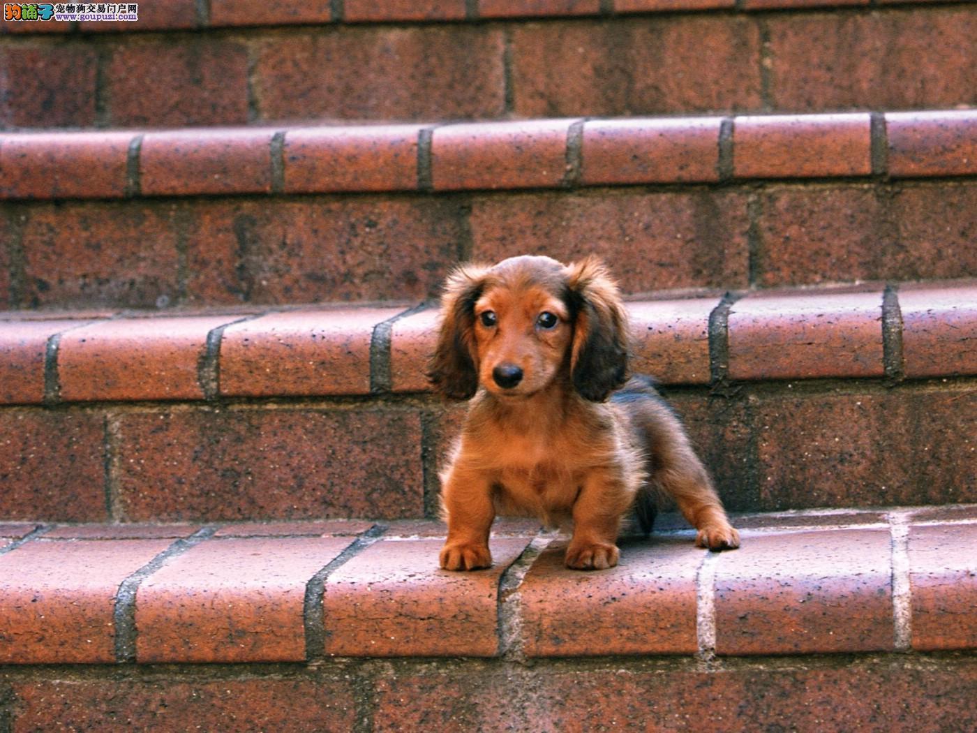 清洁助手 护理腊肠犬须几步