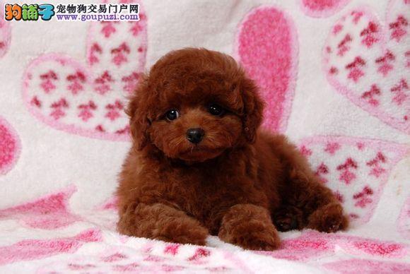 颜色全品相佳的泰迪犬纯种宝宝热卖中赛级品质血统保障