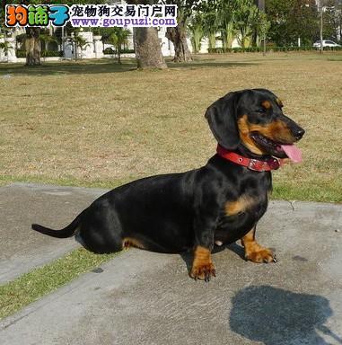 怎样挑选一只健康的腊肠犬幼犬