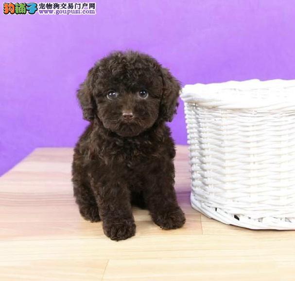 顶级优秀韩系青岛泰迪犬热销中 质量三包可签订协议1