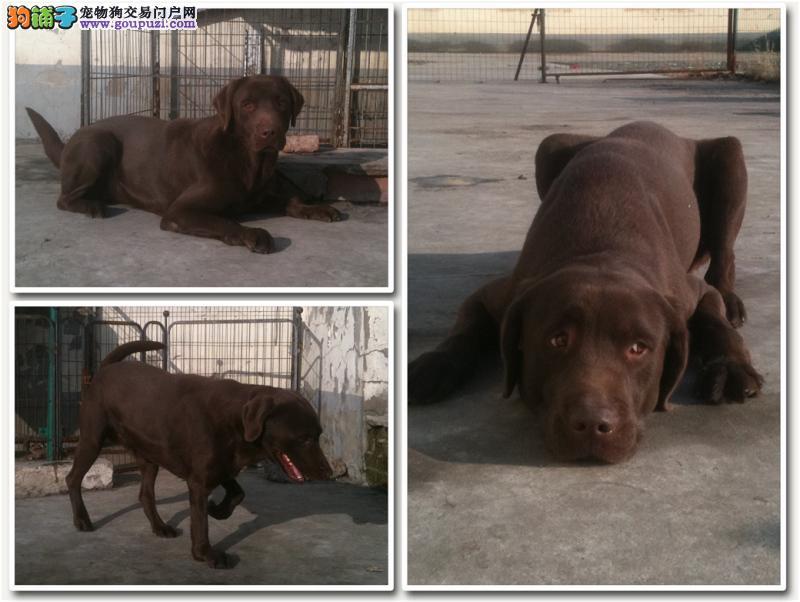 十万告急!重金寻找我遗失的咖啡色残疾拉布拉多公犬!