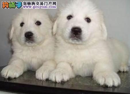 西宁专业的大白熊犬舍终身保健康实物拍摄直接视频2