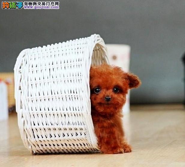 武汉市出售泰迪犬幼犬 公母都有 可视频看狗 价格优惠